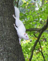 White squirrel at Sandy Dell