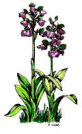 drawing of green winged orchid